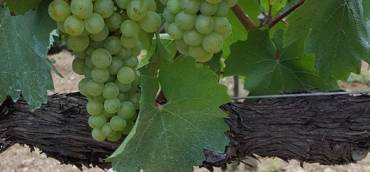 This is where our Piaggione 100% Chardonnay begins